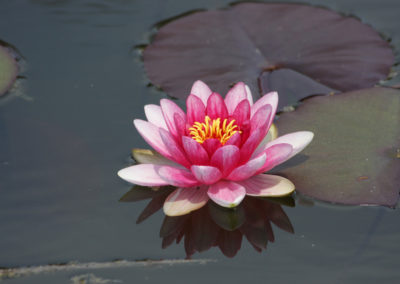 waterlily-1280x853-bio-
