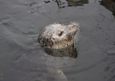 Harbor Seal in Friday Harbor